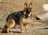 Warfenburg Longhair German Shepherds